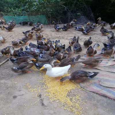 吃玉米的青头本地水鸭