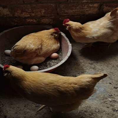 【正宗农家土鸡蛋】农家散养新鲜农村自养鸡蛋60枚