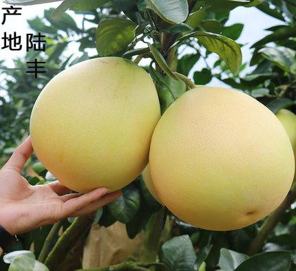 陆丰蜜柚(一箱两个2.5kg-3kg)