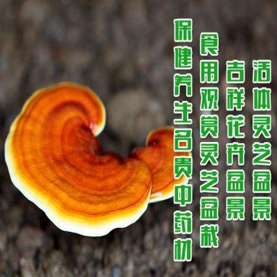 赤灵芝菌包 灵芝盆栽种子 灵芝菌种1包