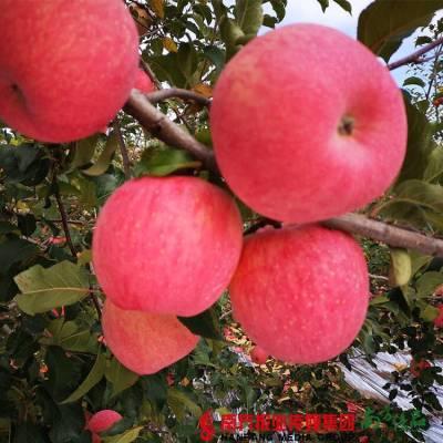 洛川苹果是特级的哈,特级的苹果优先供应政府接待、山姆采购,一般的商超只拿一级果。 新果子,去年大家最爱吃的苹果!果径75cm,1箱10斤63.9元
