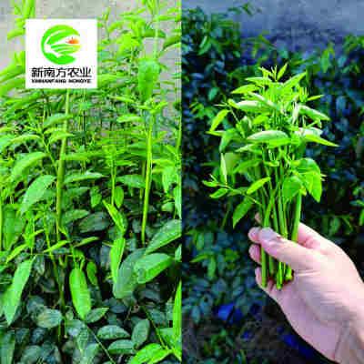 (预定)新南方农业/台湾仟子菜 新鲜热带蔬菜嫩叶【包邮】