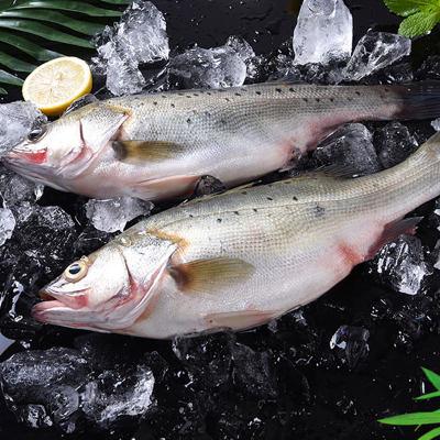 珠海白蕉海鲈鱼(约1斤)