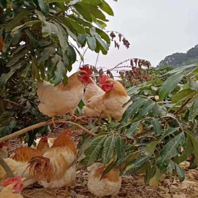 吃杂粮爬山的杏花母鸡