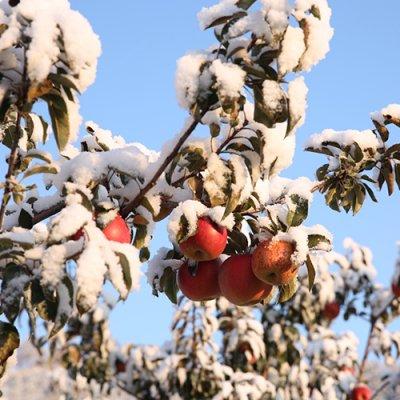 云岭雪苹果 高山孕育雪苹果 约6斤装