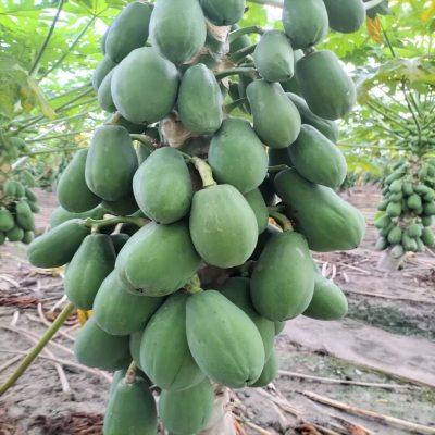 夏威夷水果木瓜(三个装)