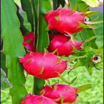 红色宝石火龙果